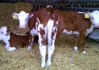 farm-cows1