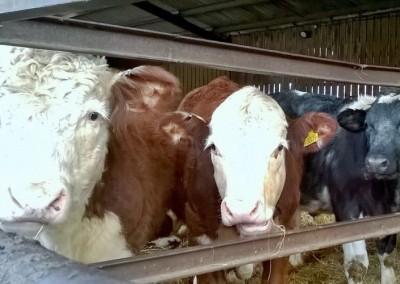 farm-cows2